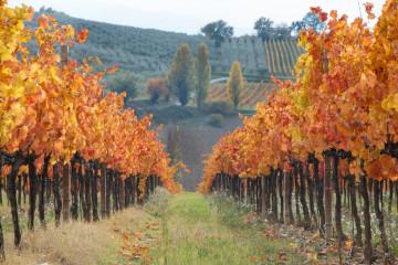 tagAlt.General autumn vineyards red leaves 4