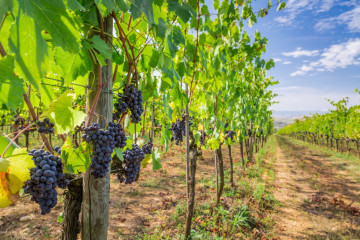 tagAlt.General vineyards red grapes Amarone 7