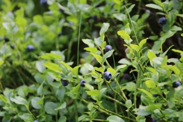 tagAlt.Wild blueberries woods foraging 3