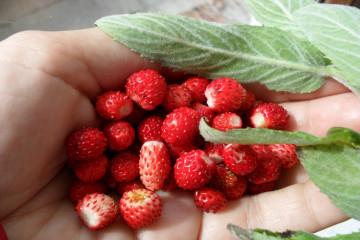 tagAlt.Wild strawberries found food 6
