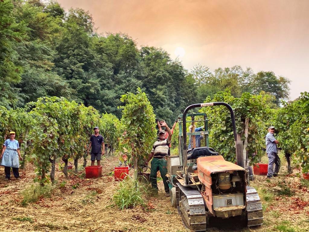 Oltrepò-Wine-producers-harvesting-grapes_20211009